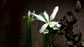 Het snelle bloeien van bloemen stock video