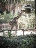 Het snelle voedsel van girafamd Stock Foto