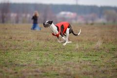 Het snellen over, hartstocht en snelheid Windhondhonden het lopen Stock Foto's