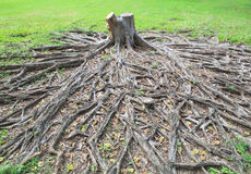 Het snijden stierf aan banyan boomstomp met wortel op groen gebied stock afbeeldingen