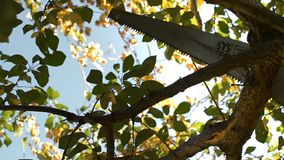 Het snijden van de tak van een boom met een zaag stock footage