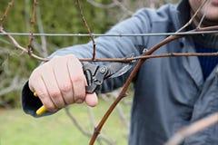 Het snijden van de wijnstok Stock Foto