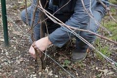 Het snijden van de wijnstok Stock Foto's