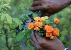Het snijden van roze rozen met een secateur Stock Foto's