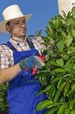 Het snoeien, mens met het tuinieren Stock Foto