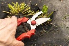 Het snoeien van aardbeispruiten in de tuin royalty-vrije stock foto