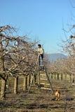Het snoeien van appelbomen met snoeischaar in de boomgaard stock foto