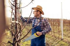Het snoeien van boom in perenboomgaard, landbouwer die handsaw hulpmiddel met behulp van royalty-vrije stock foto's