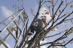 Het snoeien van een boom Stock Afbeeldingen
