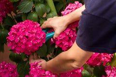 Het snoeien van een hydrangea hortensia Stock Afbeeldingen