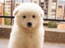 Het snoezige witte Puppy samoyed Stock Foto