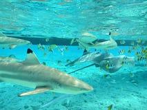 Het snorkelen met tropische haaien en pijlstaartroggen Royalty-vrije Stock Foto's
