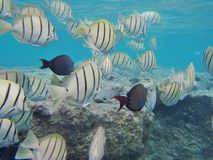 Het snorkelen met tropische vissen royalty-vrije stock foto's
