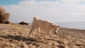 Het snuiven van en het zoeken van het witte leuke puppy van shibainu op het strand in de ochtend langzame motie stock footage