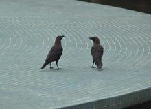 Het socialiseren: Raven het babbelen stock foto's