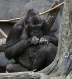 Het Socialiseren van gorilla's Stock Afbeelding