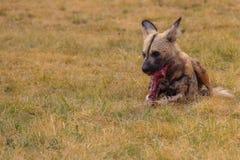 Het solitaire Afrikaanse Wilde Hond eten Royalty-vrije Stock Afbeeldingen