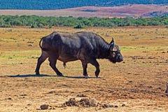 Het solitaire buffelsstier lopen stock foto