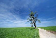 Het solitaire oude eiken boom groeien langs de weg Royalty-vrije Stock Fotografie