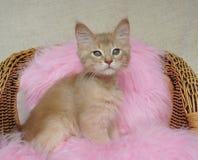 Het Somalische katje van Fawn Royalty-vrije Stock Fotografie