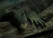 Het soort het reptieldier van de watermonitor kijkt als Varanus-de draak van de salvatorhagedis Stock Foto