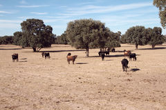 Het Spaanse cow&bulllandbouwbedrijf Stock Fotografie