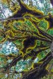 Het Spaanse mos groeit zelfs in Alaska stock fotografie