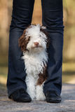 Het Spaanse puppy die van de waterhond in openlucht stellen Stock Afbeeldingen