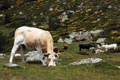 Het Spaanse zwarte en donkere bruine koe weiden royalty-vrije stock foto