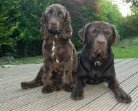 Het spaniel en chocolade Labrador van de chocoladeaanzetsteen stock afbeelding