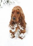 Het spaniel van de sneeuw Stock Foto's