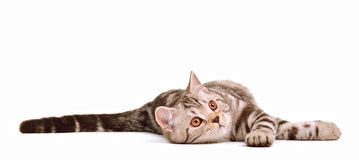 Het speelse het katje van skottishvouwen geïsoleerdt liggen Royalty-vrije Stock Foto