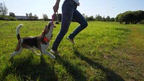 Het spel van de brakhond met eigenaar, looppas en vangststuk speelgoed stock footage