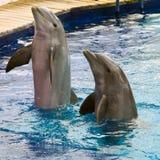 Het spel van de dolfijn Stock Afbeeldingen