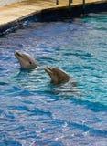 Het spel van de dolfijn Stock Foto's