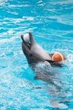 Het spel van de dolfijn in pool Stock Afbeeldingen