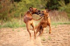 Het spel van de hond Stock Fotografie