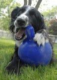 Het Spel van de hond met blauwe bal Stock Foto