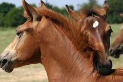 Het spel van het paard Stock Foto's