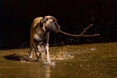 Het spel van het puppy in water Stock Fotografie