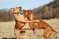 Het spel van honden het vechten Stock Foto's