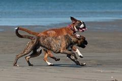 Het Spel van honden op het Strand royalty-vrije stock foto's