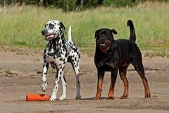 Het Spel van honden op het Strand royalty-vrije stock afbeelding