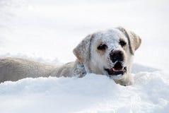 Het spel van Labrador in verse sneeuw Royalty-vrije Stock Foto