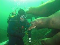 Het spel van zeeleeuwen met duiker royalty-vrije stock foto