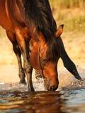 Het spelen baaipaard in meer in zonsondergangstralen Royalty-vrije Stock Fotografie
