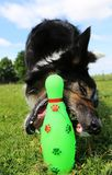 Het spelen border collie puppy in de tuin Royalty-vrije Stock Afbeelding