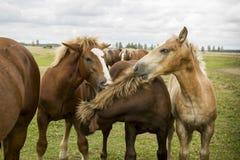 Het spelen Bruine Nice Wild paarden Stock Afbeelding