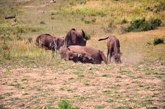 Het spelen buffels Stock Foto