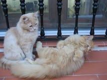 Het spelen $ce-andalusisch katten Stock Foto's